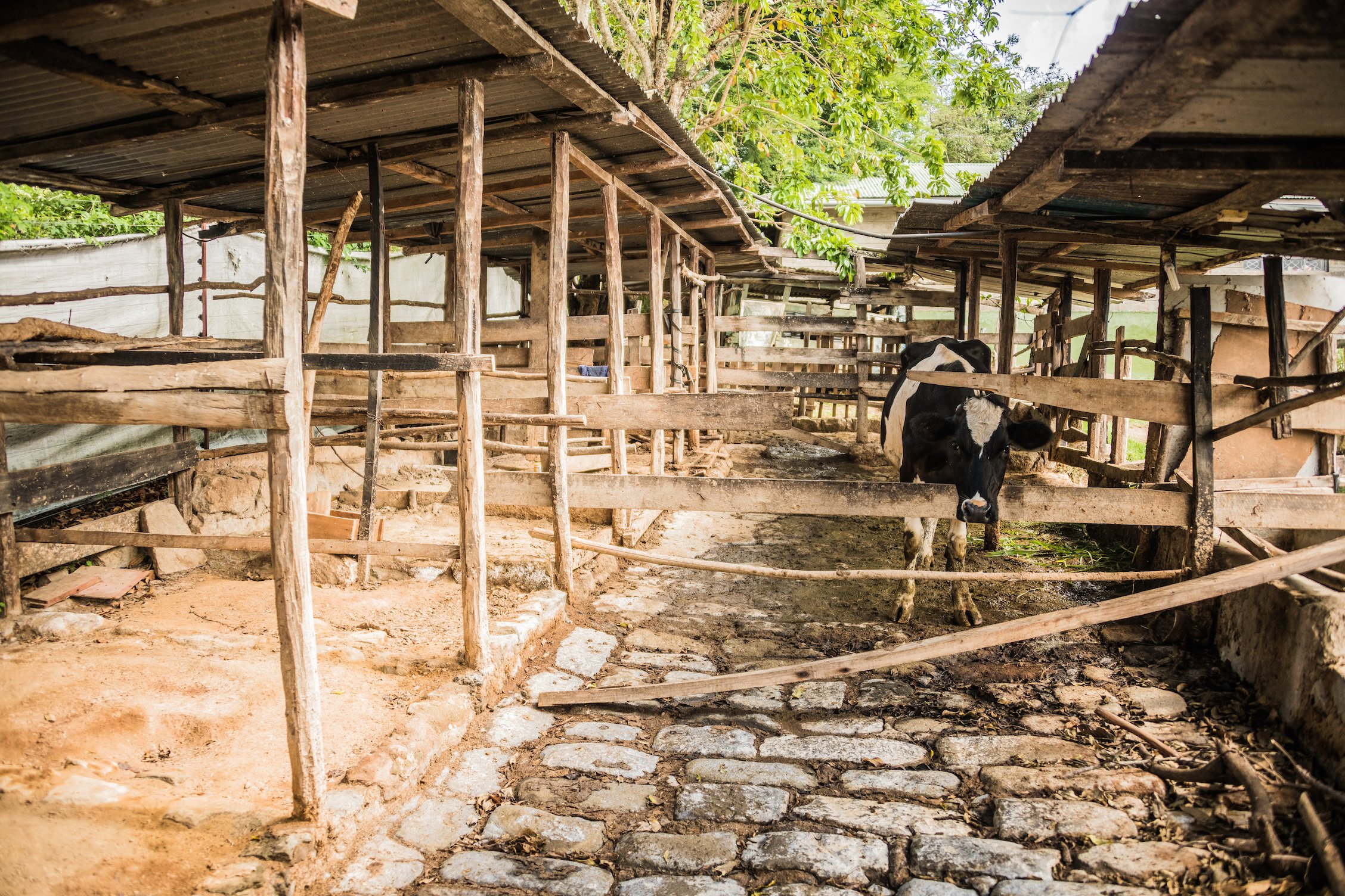 Dairy Cow Farm at the Pendekezo Letu Center